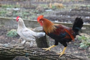 In the chicken yard, this handsome and energetic rooster is pursuing one of the hens.