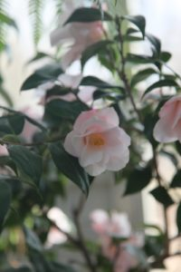 A beautiful camelia shrub is blooming beside the citrus.