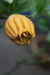 And this odd-looking citrus is called a Buddha's Hand or Fingered Citron.