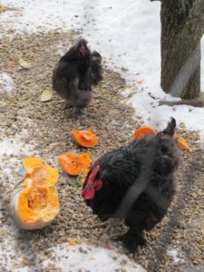 To encourage the hens and roosters to eat the nutritious pumpkin, we sprinkled cracked corn over it.  All the pumpkins were left over from the TV set and my magazine's Halloween stories for next October.