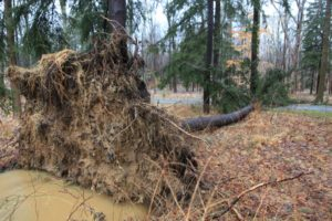 The heavy winds and the water-drenched soil proved devastating for this tree.