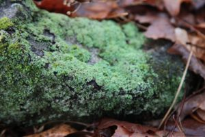 With all the moisture, this lichen is bursting with green!