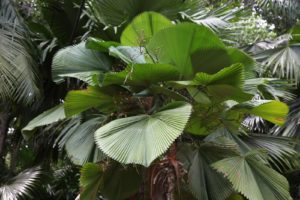 Palms can be many shapes, sizes, and colors.  This heart-shaped leaf is deeply pleated.
