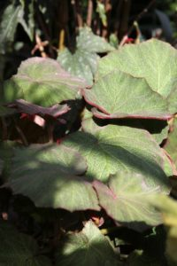 The leaves of this begonia are covered with pink, fuzzy hairs.