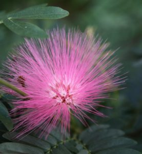 Its common name is pink powderpuff.