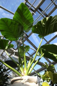 These giant elephant ear leaves add so much height and interest to the greenhouse.
