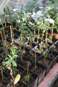 Shaun is rooting cuttings of Salix, or pussy willow - they will be planted outdoors near the wetland.