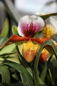 The extraordinary bloom of a Lady Slipper orchid