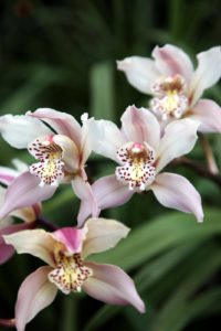 The waxy blooms of a Cymbidium orchid