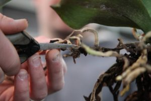 It's important to remove unproductive roots to increase air circulation for the live ones.