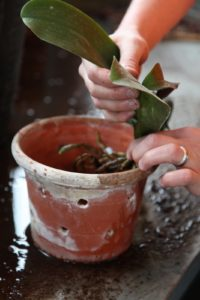 Shaun positions a trimmed orchid in a clean pot.