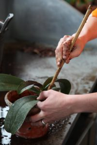 With each handful added, Shaun uses the blunt end of a stick to tamp the media into the orchid roots.  Orchids like to be anchored securely.