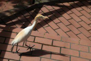 An egret strutting around