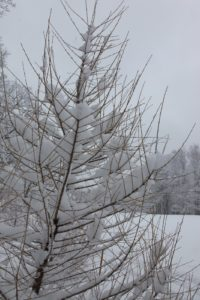 A dawn redwood laden with snow