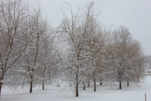 This is one of willow groves - the golden color of the bark looks great against the white snow.