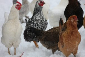 A Jersey Giant, a Silver Laced Wyandotte, and more Araucanas