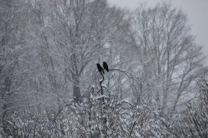 More crow atop a weeping beech