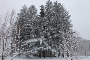 The tall spruces surrounding the tenant house