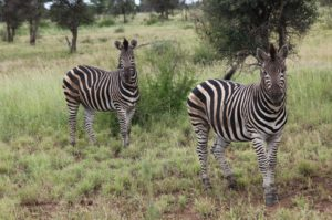 Two zebras looking at us
