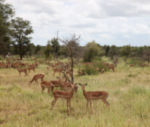 Hundreds of thousands of impala roam the park.  They are also the food for the prides of lions, the leopards, and the occasional cheetah