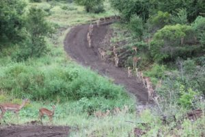 This morning, the impala decided to walk the road, single file, for miles.