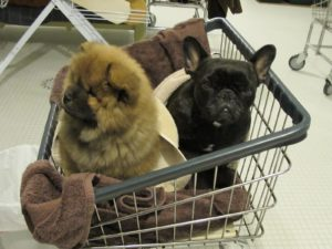 These rolling laundry carts are excellent dog carriers!  G.K. is doing a fine job of learning how to behave, how to have a bath, and how to interact with his new sisters.