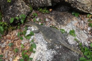 We saw this cute lizzard by the waterside.  Unfortunately, he might have been a little sick.