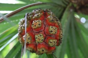 This inedible tropical fruit was quite beautiful.