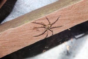 Ohhh...many spiders in Sabah!  Supposedly, none are deadly.
