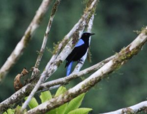 This exotic looking bird is a male Asian Fairy-bluebird, a member of the oriole family.