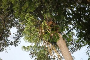 On the short drive back to the lodge, we saw this beautiful orchid high in a treetop.