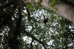 We finally encountered three gibbons high in the canopy.  The difference between monkeys and apes is that monkeys have tails and apes do not.
