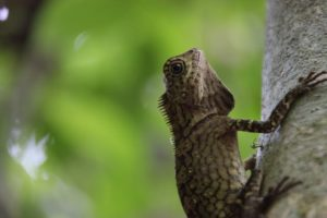 This little fellow is a short-crested forest dragon.