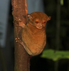 Later that day, after dinner, we were lucky to encounter this small nocturnal tarsier.  One of the smallest primates, the tarsier has eyes like an owl, a tail like a rat, and ears and nose like a bat.