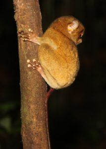Remarkably, the tarsier is able to turn its head nearly 360 degrees meaning that, coupled with those large eyes, the tarsier able to spot any oncoming predators with ease.
