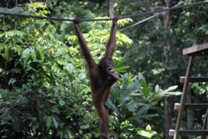 Like all orang-utans we saw, this one was very flexible!  While hanging, he was eating a carrot held with his foot.