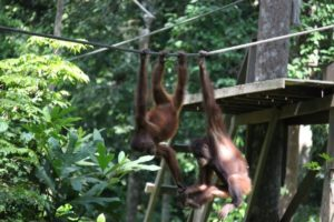 The rope 'vines' create a path for the orang-utan to travel on throughout the reserve.