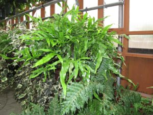 The shiny, firm, green fronds a kangaroo fern, native to Australia and New Zealand