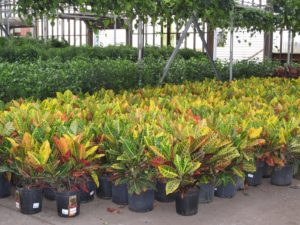 The very colorful foliage of crotons
