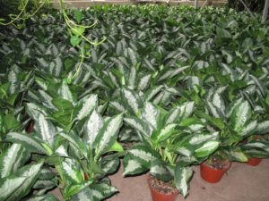 Aglaonema Silver Queen - a very hardy, slow growing foliage plant, with striking dark green leaves, heavily variegated with silver.