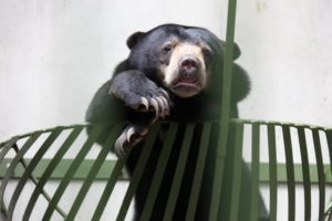 The Sepilok center also protects and rehabilitates other endangered species, such as this Borneo sun bear.