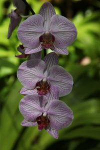 And the pretty flat faces of phalaenopsis orchids