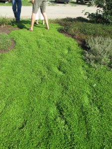 This ground cover is called Mezus and is thick like a carpet.