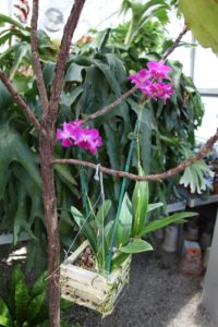 A beautiful fuchsia-colored orchid in a hanging basket