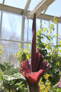Look what's blooming again!  It's the Amorphophallus or Voodoo Lily.