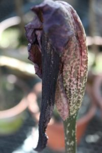 My other Amorphophallus has already bloomed and is now shriveling up.