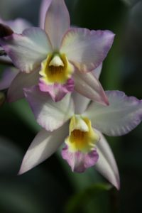 This orchid just looks like springtime.
