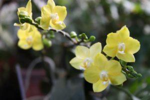 An amazing Phalaenopsis orchid