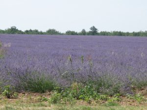 This lavender is about to be harvested.