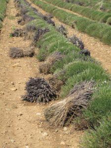 Recently harvested lavender stalks